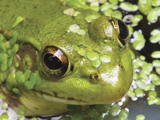 """Wabetsu Frog"" (Photo by Betsy Bacot-Aigner)"