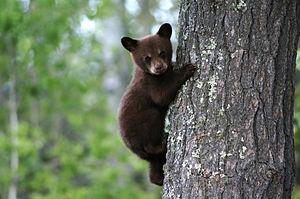 American Black Bear cub (Credit: Wiki)
