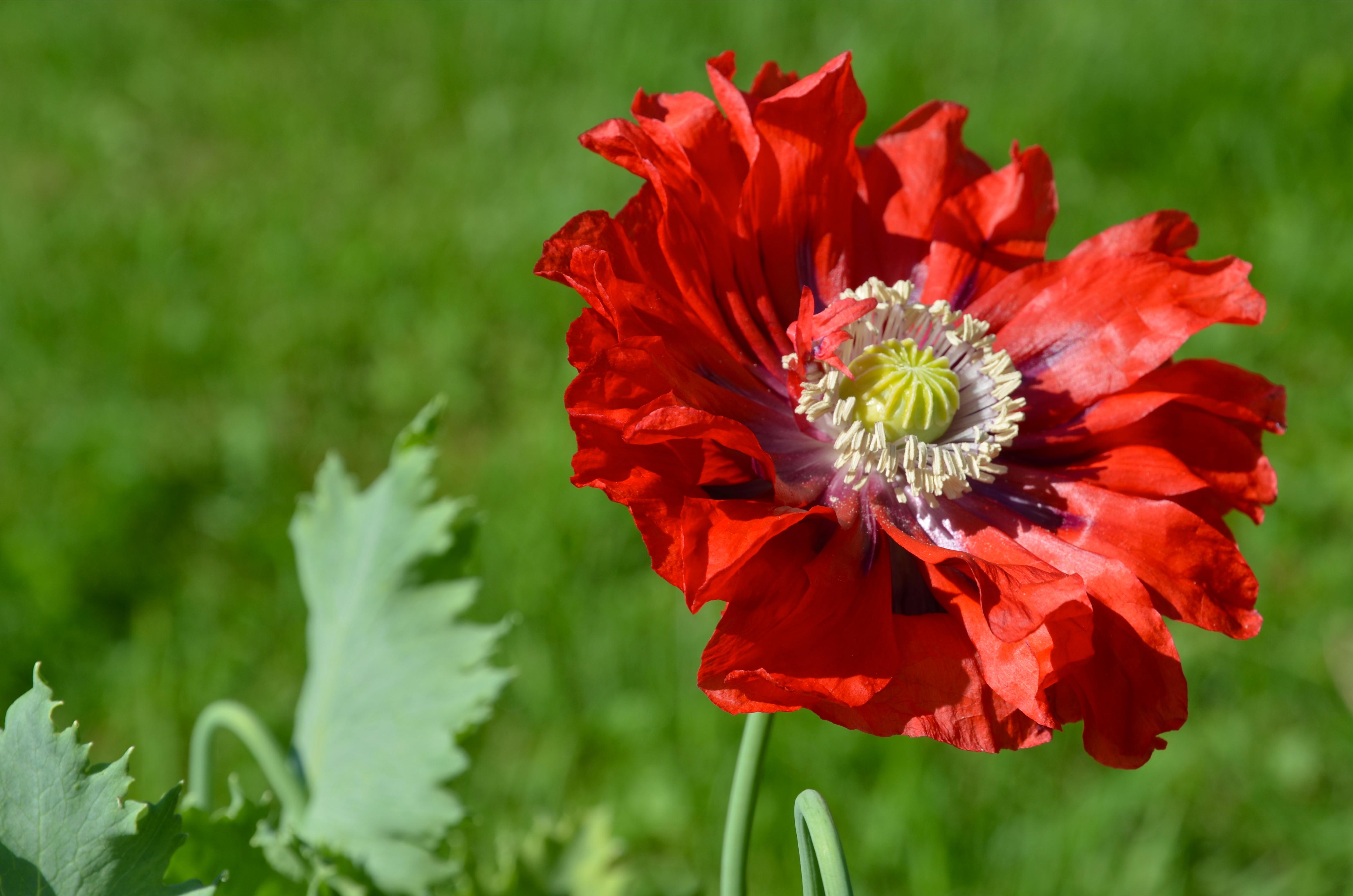 Red Poppy, by Jill Piper (Atea Ring Gallery, Westport, NY)