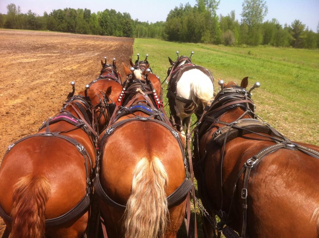Draft horses at Essex Farm