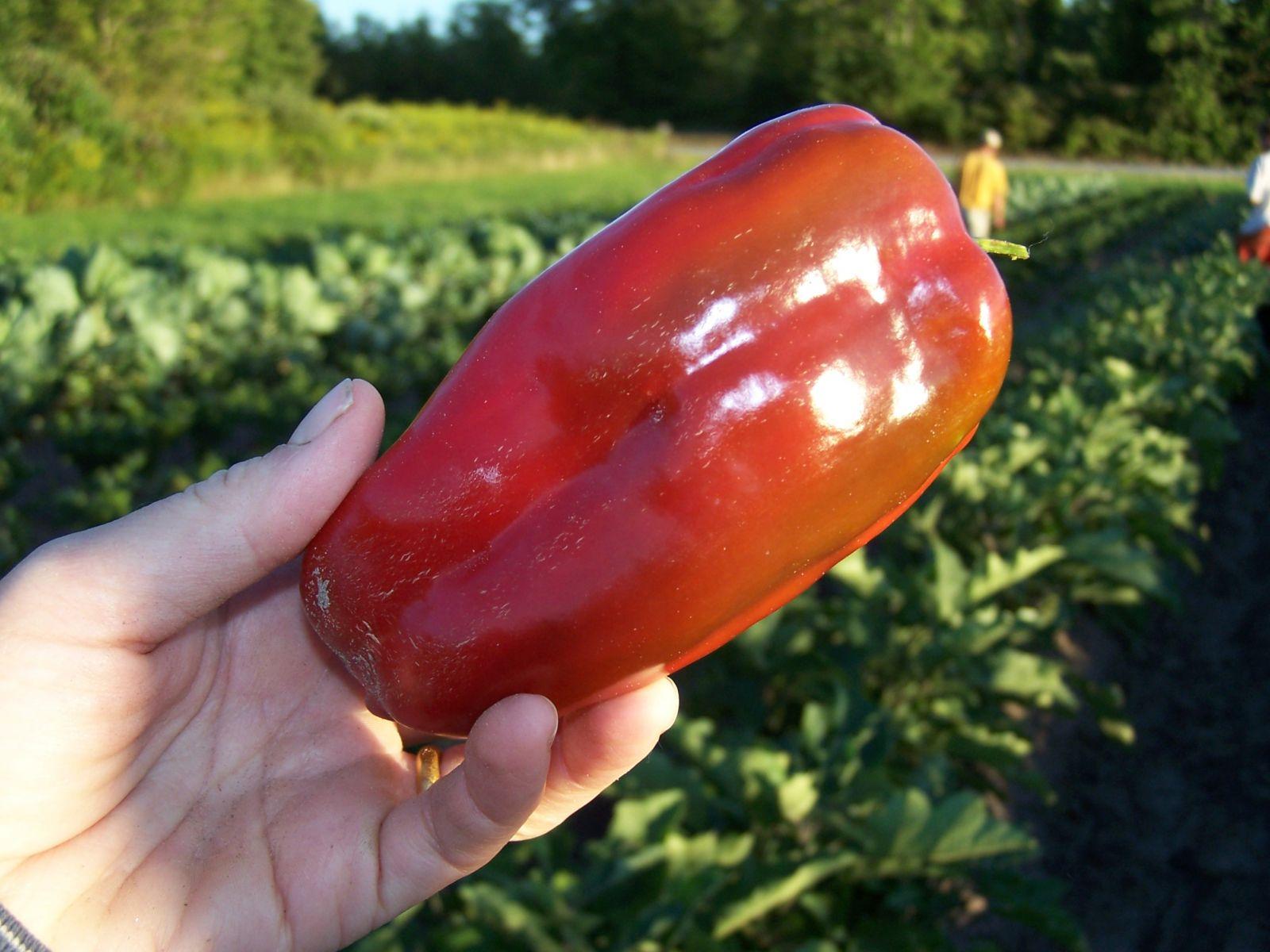 That's a big pepper! (Image courtesy of Essex Farm)