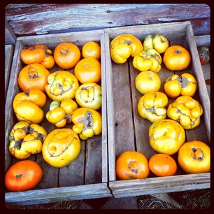 Tomatoes from Full and By Farm. (via virtualdavis)
