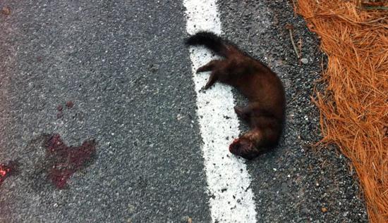 American Mink killed near Essex (Photo: John Davis)