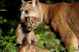 Cougars (Image credit: Sue Morse)