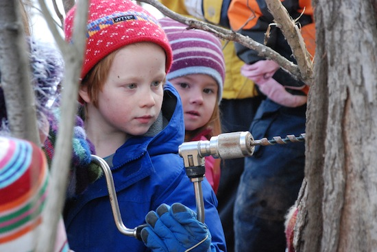 Children drilling a sugar maple during sugaring