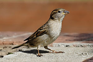 House_sparrow (Credit: Wiki)