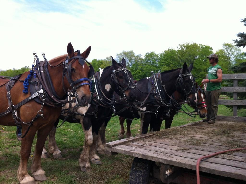 draft horses on Essex Farm