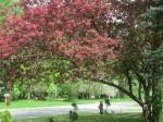Red Cherry Blossom Tree