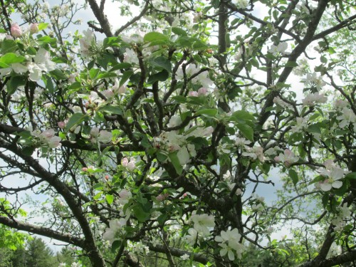 White blossoms on a crabapple tree.