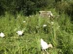 13 Turkeys wander