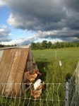 15 laying hens and thunderstorms