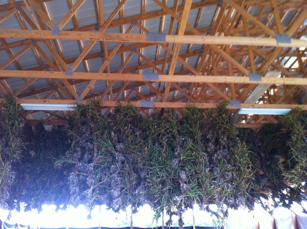 Garlic hanging at Essex Farm.