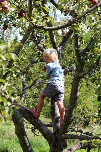 Kindergartener picking apples in the orchard