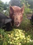 1- Reber Rock Farm pigs enjoying apples.