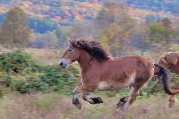 Draft horses at Full and By Farm, fall 2013. (Photo: virtualDavis)