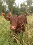 3 - Reber Rock Farm cows have all calved