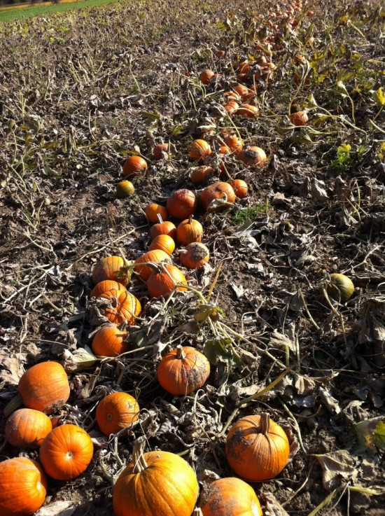 Pumpkins at Essex Farm
