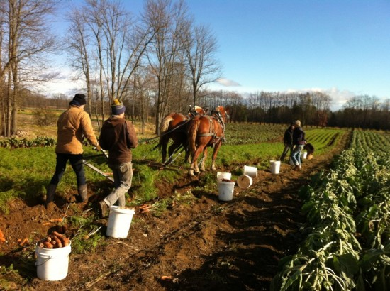 Harvesting carrots at Essex Farm