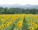 01 Sunflowers (Credit: Reber Rock Farm)