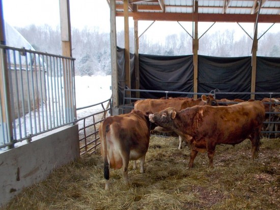 Essex Farm dairy cattle in the barn. (Credit: Kristin Kimball)