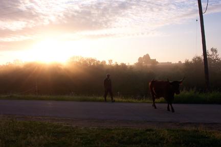 Cattle crossing the road at Full and By Farm (Credit: Sara Kurak)