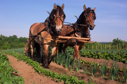 Draft horses at Full and By Farm