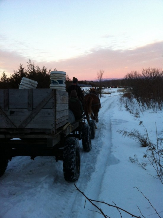 Draft horses pull a cart of maple sap back to Essex Farm (Credit: Kristin Kimball)