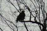 Eagle Silhouetted Near Lake Champlain (Credit: Beatrice Disogra)