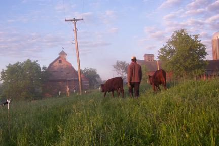 Cattle at Full and By Farm (Credit: Sara Kurak)