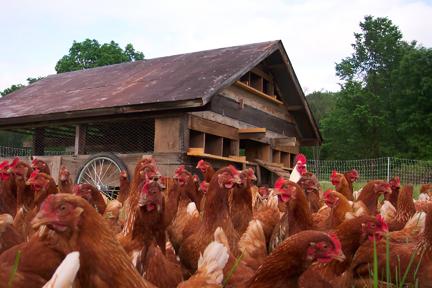 Chickens at Full and By Farm (Credit: Sara Kurak)