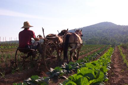 Draft horses working the fields at Full and By Farm (Credit: Sara Kurak)
