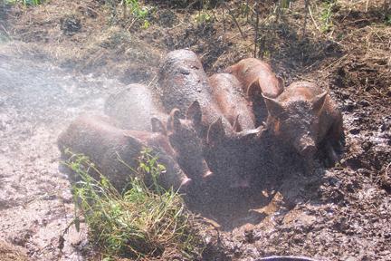 Pigs at Full and By Farm (Credit: Sara Kurak)