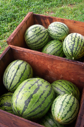 Watermelons from Full and By Farm (Credit: Sara Kurak)