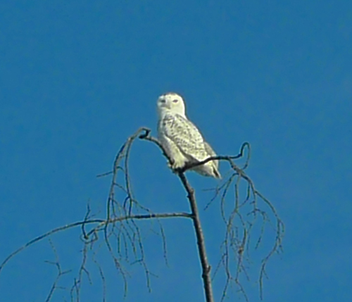 Snowy Owl in Essex, 2014 (Photo: Catherine Seidenberg)