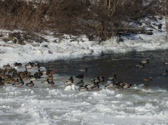 Ducks on winter ice in Essex Bay. (Credit: Katie Shepard)