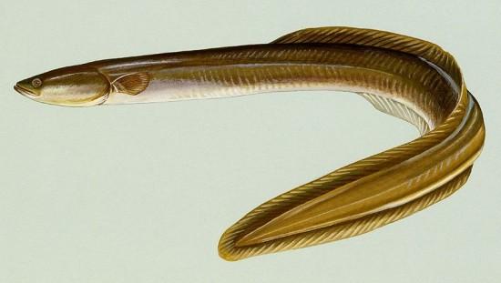 American Eel (Credit: Wikipedia)