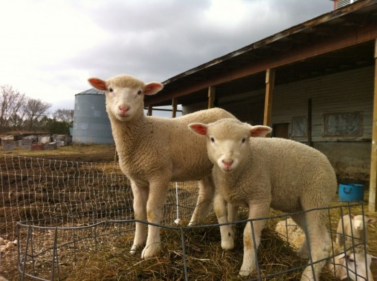 Essex Farm lambs (Credit: Kristin Kimball)