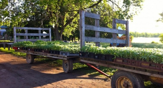 Tomatoes are hardening off, to go to the field early next week. (Credit: Kristin Kimball)
