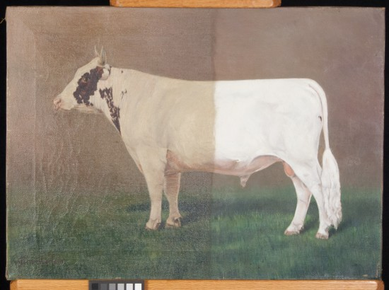 Painting of the Alexander family's prize winning bull Toreador. (During treatment by Phillips Art Conservation LLC)