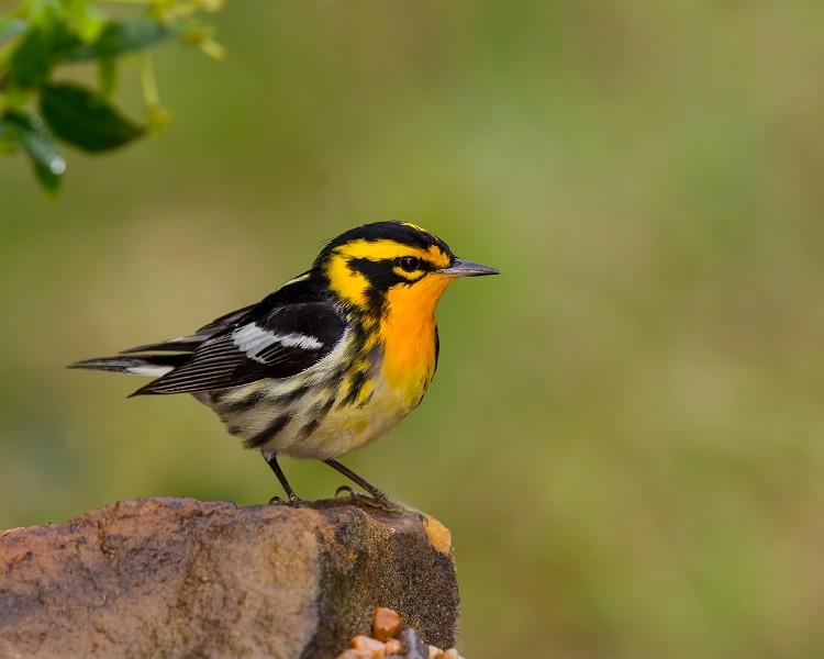 Blackburnian Warbler by Larry Master