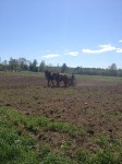 Reber Rock Farm draft horses in field
