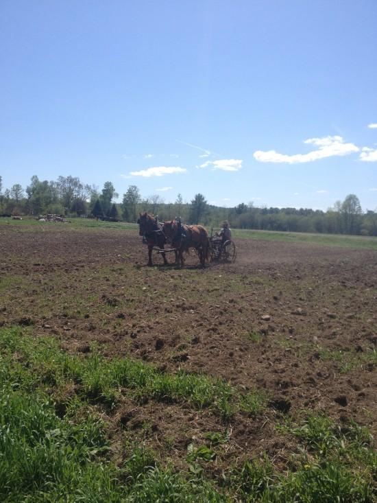 Reber Rock Farm draft horses in field