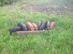 Reber Rock Farm pigs
