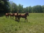 RRF horses