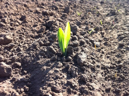 Corn sprouting through the soil at Essex Farm. (Credit: Kristin Kimball)