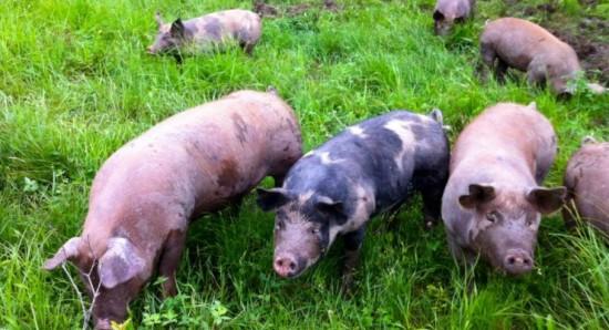 Essex Farm pigs in the pasture