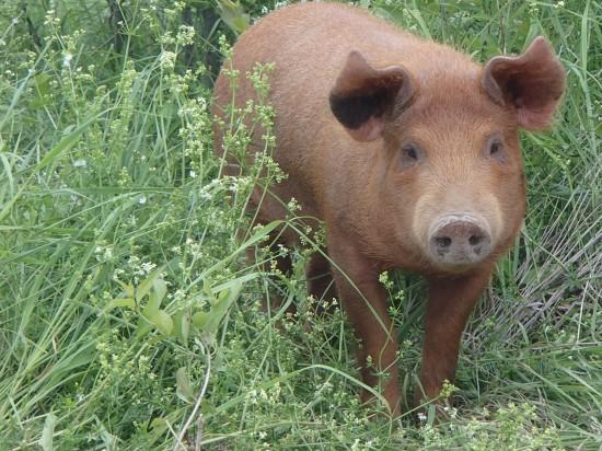 Pigs raised on rotational pasture. (Credit: Dillon Klepetar)
