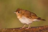 Veery by Larry Master