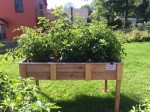 Raised bed planter lush with produce in the Essex Community Garden (Photo: George Davis)