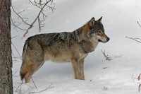 Wolf, by Larry Master (www.masterimages.org)